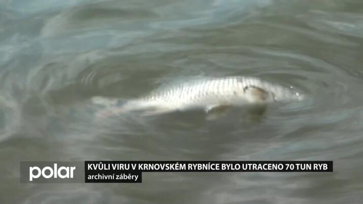 70 tun ryb muselo být usmrceno. Smrtící Koi herpes řádil v krnovském Petrově rybníce i na dalších v zemi