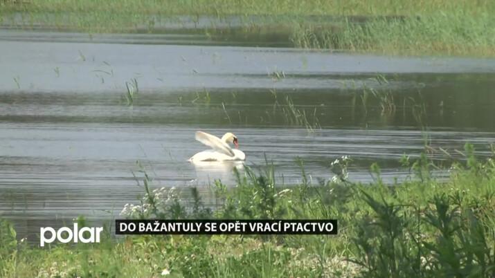 Rybník Bažantula už osidlují vodní ptáci